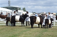Belted-Galloway-6.jpg